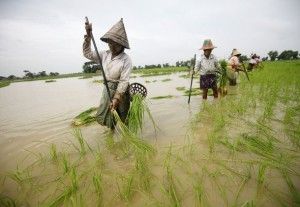 Farmers plant rice seedlings in a paddy field on the outskirts of Yangon