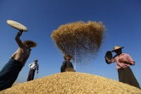 Farmers scatter rice to clean it after collection from a field at Naypyitaw