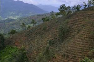 Tea Trees in Shan
