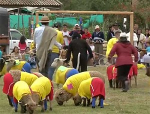 Colombian sheep play mock World Cup