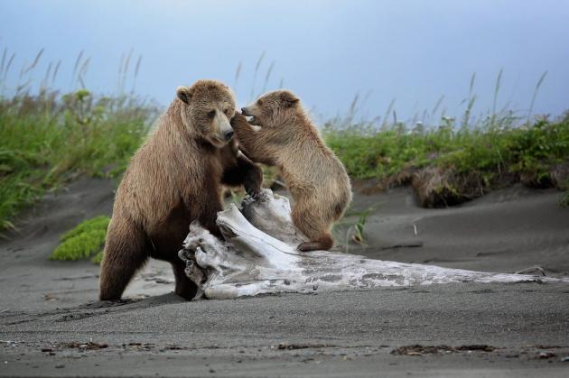 10 A mother brown bear and her cub