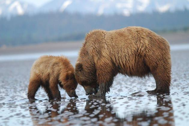 2 A mother bear shows its baby how to dig for clams