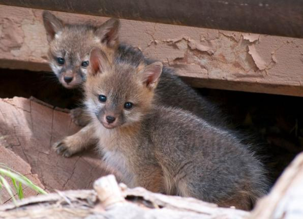 4 Baby gray foxes