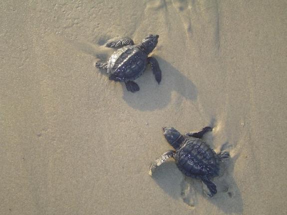 5 baby sea turtles