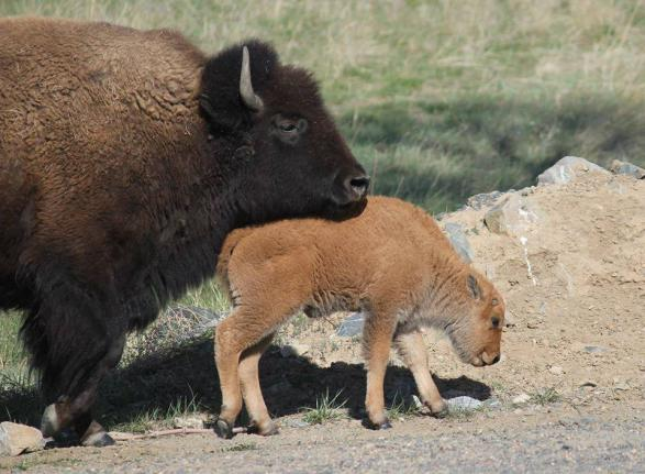 7 One of the baby bisons born