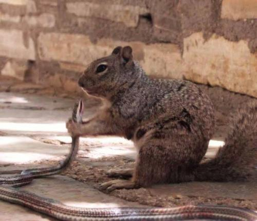 9 A squirrel readies to devour a snake