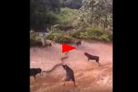 Shocking footage shows 5 brave dogs fighting a giant cobra