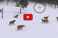Tigers play with drone